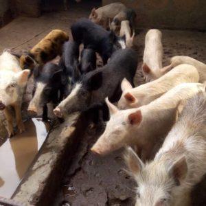 Porc Avant Le Repas