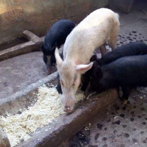 Alimentation Porcs